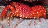 Flaming Reef Lobster w/Eggs