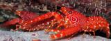 Flaming Reef Lobster Pair