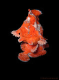 Spawning Frogfish