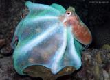 Octopus briareus