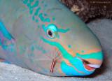 Parrotfish & Shrimp