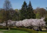 Sakura from High Park