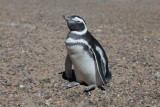 8409 Magellan Penguin.JPG