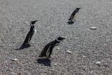 8464 Magellan Penguins.JPG