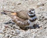 Killdeer (on nest)