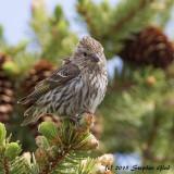 Pine Siskin (female)