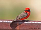 Vermilion Flycatcher (male)