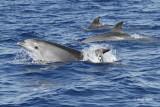 Dolphins/Delfini