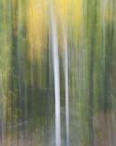 Birch in Fall Colour