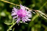 Scabiosen Flockenblume