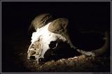 Big 5: Cape Buffalo