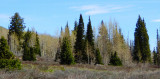 Aspen and Subalpine Fir