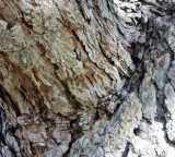 Bark Texture on Elm Tree