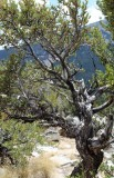 The Mountain Mahogany Dance