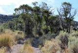 Cottonwoods at a Creek Crossing