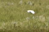 snowy egret 062213_MG_4948