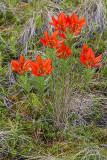 western wood lillies 070613_MG_6057