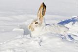 Rabbits, Hares, & Pikas