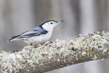 white-breasted nuthatch 011815_MG_4719