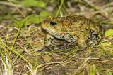 boreal toad 082915_MG_2756
