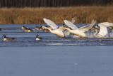 trumpeter swans 111115_MG_2738