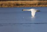 trumpeter swan 111115_MG_2808