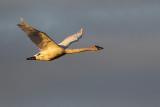 trumpeter swan 051216_MG_7259