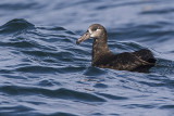 black-footed albatross 091816_MG_4790