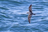 fork-tailed storm-petrel 091816_MG_4892