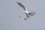 BC Gulls