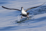 pink-footed shearwater 091816_MG_3737