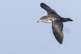 pink-footed shearwater 091816_MG_3888