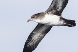 pink-footed shearwater 091816_MG_3995