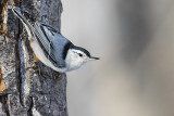 white-breasted nuthatch 012917_MG_9692