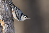 white-breasted nuthatch 012917_MG_9735