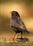Merel - Blackbird (with unusual upper bill)