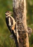 Grote Bonte Specht - Great Spotted Woodpecker