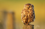 Steenuil - Little Owl