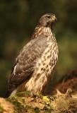 Havik - Goshawk (Juvenile)