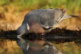Houtduif - Wood Dove