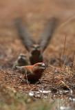Grote Kruisbek - Parrot Crossbill
