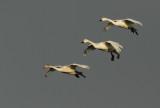 Flight of the Bewick's Swans