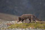 Arctic Fox - Poolvos