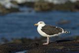 Gulls - Meeuwen