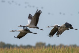 Kraanvogel - Common Crane