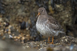 Paarse strandloper - Purple Sandpiper