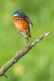 IJsvogel - Kingfisher