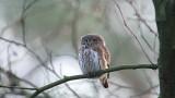 Eurasian Pygmy Owl - Dwerguil