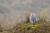 Snowy Owl - Sneeuwuil
