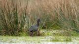 Glossy Ibis - Zwarte ibis